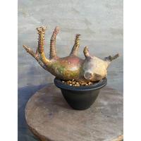 パキポディウム マカイエンセ 3番 塊根植物 コーデックス 現地球