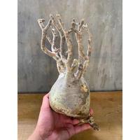 パキホディウム グラキリス  20番 塊根植物  コーデックス マダガスカル 現地球