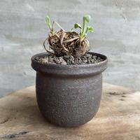 オトンナ  レトロルサ 5 多肉植物 塊根植物 コーデックス 現地株
