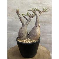 パキホディウム グラキリス 2ヘッド 2番 塊根植物 コーデックス マダガスカル現地球