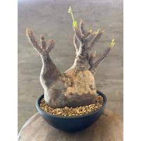 パキポディウム グラキリス 913 塊根植物 コーデックス 現地球 送料着払い