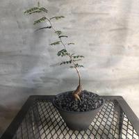 オペルクリカリア パキプス 実生株 51 塊根植物 コーデックス