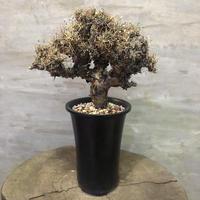 オトンナ ユーフォルビオイデス 30 塊根植物 コーデックス