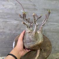 発送着払 パキポディウム グラキリス  5 塊根植物 コーデックス 現地球