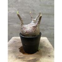 パキポディウム グラキリス 265 塊根植物 コーデックス 現地球 送料着払い
