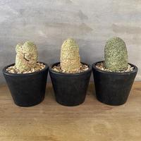 仏頭玉 ラリレアキア カクティフォルメ3番〜5番 現地新着株 塊根植物 コーデックス