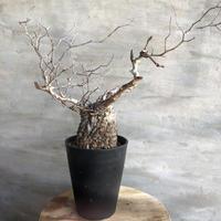 オペルクリカリア パキプス 101 塊根植物 コーデックス 現地球