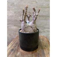 パキポディウム グラキリス 734 塊根植物 コーデックス 現地球 発送着払い