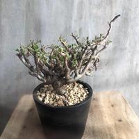 サルコカウロン バンデリティアエ 2 多肉植物 塊根植物 コーデックス 現地球