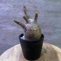 パキポディウム グラキリス 15 塊根植物 コーデックス  現地球  発送着払い