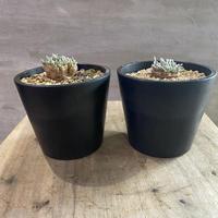 アボニア クイナリア 10.11塊根植物 コーデックス 南アフリカ現地球 発送着払い