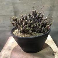 モニラリア モニフォルミス 塊根植物 コーデックス 南アフリカ現地球
