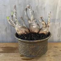パキホディウム グラキリス × 姫野翔太 塊根植物  コーデックス マダガスカル 現地球