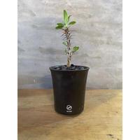 フォークイエリア マクドガリー 実生 塊根植物 コーデックス
