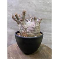 パキポディウム グラキリス 901 塊根植物 コーデッデス 現地球 発送着払い