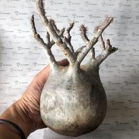 パキポディウム グラキリス 抜き苗 3 多肉植物 塊根植物 コーデックス 現地株