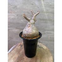 パキポディウム グラキリス 949 塊根植物 コーデックス 現地球 発送着払い