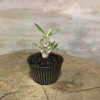 パキポディウム  デンシフローラム  2 実生株  塊根植物 コーデックス