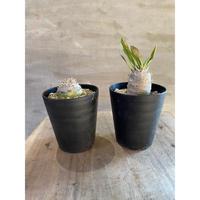 パキポディウム  恵比須大黒  実生株   3.4 塊根植物 コーデックス 送料着払い