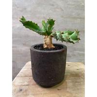 ユーフォルビア トルチラマ  塊根植物 コーデックス 南アフリカ
