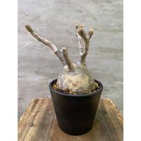 発送着払い パキポディウム グラキリス  759 塊根植物 コーデックス 現地球