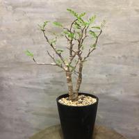 センナ メディオナリス30 潅木 塊根植物 コーデックス 現地球