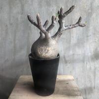 パキポディウム  グラキリス 531 塊根植物 コーデックス マダガスカル現地球