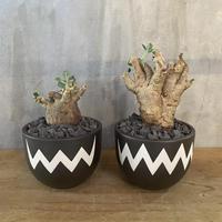プテロディスクス マカロニエンシス × valiem 塊根植物 コーデックス 多肉植物