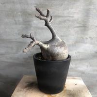 パキポディウム グラキリス  391 塊根植物 コーデックス 現地球