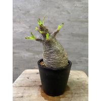 パキポディウム グラキリス 754 塊根植物 コーデックス 現地球 発送着払い