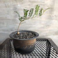 オペルクリカリア パキプス 実生株  47 塊根植物 コーデックス