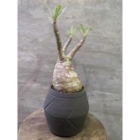 パキポディウム グラキリス  発根済 suptnik アローポット塊根植物 コーデックス 現地球 発送着払い