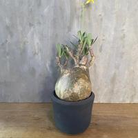 パキホディウム グラキリス × 宮下将太 塊根植物 コーデックス