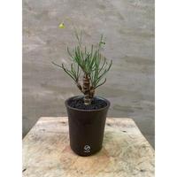 発送着払 オトンナ プロテクタ 国内実生 VALIEM  塊根植物 コーデックス 冬型植物