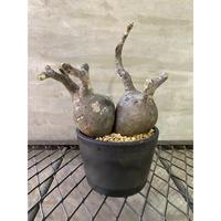 パキホディウム グラキリス 2ヘッド 3番 塊根植物  コーデックス マダガスカル 地球
