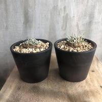 アボニア クイナリア 11.12 塊根植物 コーデックス 南アフリカ現地球