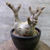 パキポディウム グラキリス 900 塊根植物 コーデッデス 現地球 発送着払い