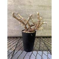 モンソニア パターソニー 塊根植物 コーデックス 南アフリカ現地球