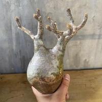 パキホディウム グラキリス  16番 塊根植物  コーデックス マダガスカル 現地球