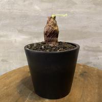 ペラルゴニウム トリステ 14 多肉植物 塊根植物 コーデックス 南アフリカ現地株 送料着払い