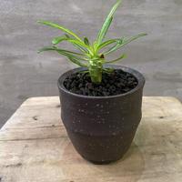 パキポディウム アンボンゲンセ 実生 信楽焼 塊根植物 コーデックス   発送着払