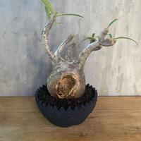パキポディウム グラキリス× left botanical 塊根植物 コーデックス 多肉植物