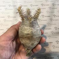 パキポディウム カクチペス  5 多肉植物 塊根植物 コーデックス 現地株