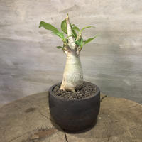 アデニウム 実生株  塊根植物 コーデックス