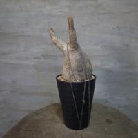 パキポディウム グラキリス  372 塊根植物 コーデックス 現地球
