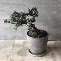 盆栽 杜松