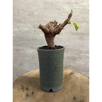 ユーフォルビア イトレメンシス 塊根植物 コーデックス 南アフリカ現地球