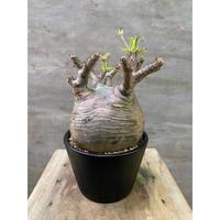 パキポディウム グラキリス 257 塊根植物 コーデックス 現地球 発送着払い