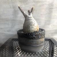 パキポディウム グラキリス  clayman クロ Sサイズ 塊根植物 コーデックス 現地球
