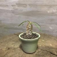 パキポディウム  グラキリス 40    実生 塊根植物 コーデックス